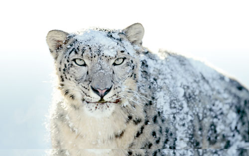 marco creativo - snow leopard wallpapers fondos de escritorio